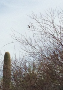 Humming bird in mesquite tree saguaro frame