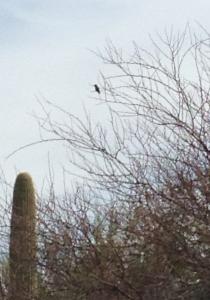 Humming bird in mesquite tree saguaro frame